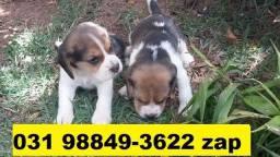 Canil Filhotes Cães em BH Beagle Poodle Yorkshire Lhasa Shihtzu Pug