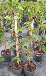 Mudas frutíferas produzindo