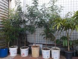 Planta Aroeira