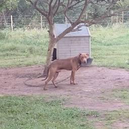American pit bull terrier ( apbt tradicional)