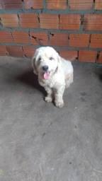 Poodle N°1