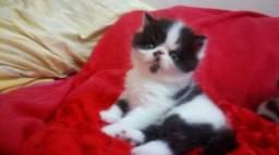 Filhotes de gatos exóticos