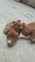 Vendo filhotes de pitbull no momento só tenho 2 macho