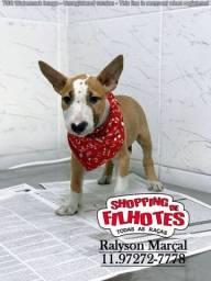Bull Terrier Inglês, filhotes legitimos! chamar no what's ou ligue