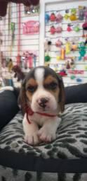Filhote de beagle fêmea e macho disponível