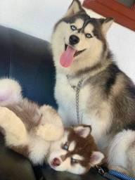 Husky siberiano pedigree e micro chip parcelamos
