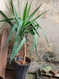 Título do anúncio: Palmeira yucca