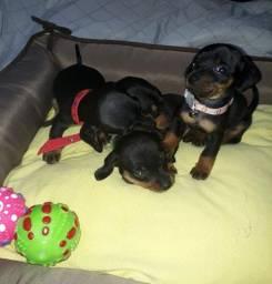 Vendo filhotes de basset dachshund tamanho mini todas fêmeas