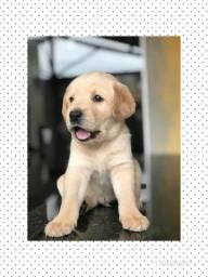 Labrador com pedigree e microchip em até