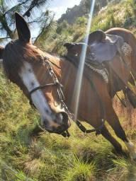 Cavalo criolo 7 anos