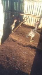 Vendo frango e Franga Calcutá