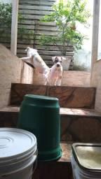 Vende-se filhotes de American Pitbull terrier