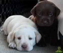 Labrador filhote creme