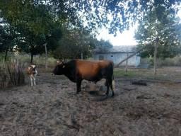 Vendo touro jersey ou troco em garrotes