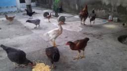 Galinha caipira-vendo galinhas