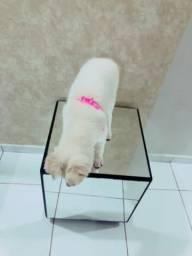 Cachorro Samoieda