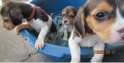 O Inteligente e Habilidoso Beagle
