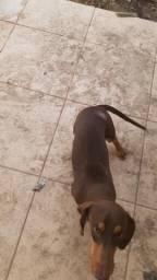 Cachorro Salsicha Cofap