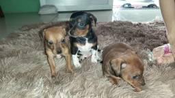 Filhotes de Cachorro Pinscher