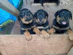 Filhotes de rottweiler baratinhos