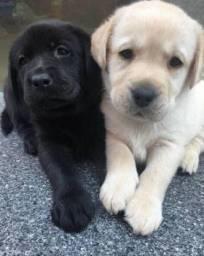 Filhotes de Labrador disponíveis macho e fêmea