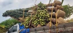 Título do anúncio: Mudas de coco produzindo, foto real