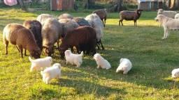 Título do anúncio: Vendo plantel de ovelhas total 30 animais.