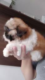 Shih-tzu Mini fêmea