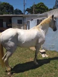 Cavalo campulino com luzitano (só avista)