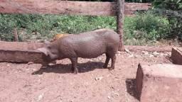 Porcos vendo ou troco
