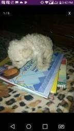 Lindos poodle mini toy machos com 45 dias cnt.988353678