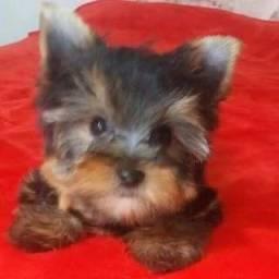 Yorkshire Terrier Micros C/ Pedigree