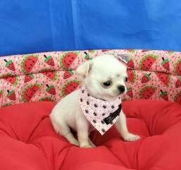 Lindíssimos Filhotes de Chihuahua + Microchipe + Garantia + Parcelado 12X
