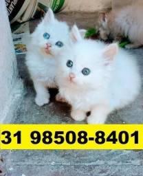 Gatil em BH Filhotes de gatos Belos Angora Persa ou Siamês