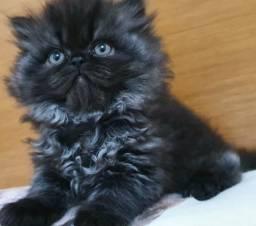 Linda filhote de gata persa femea legítima Entrego em Joinville,Itajai,Blumenau,etc