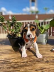Os mais lindos filhotes de Beagle