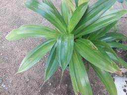 Agave- Planta