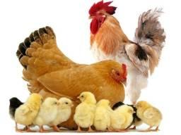 Aves pintinhos pato galinha caipiras
