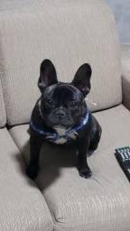 Título do anúncio: Bulldog francês fêmea com 1 ano. Troco por cão do meu interesse.