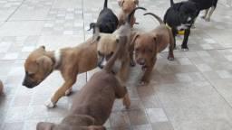 Vendo filhotes pitbull valor 400 Reais