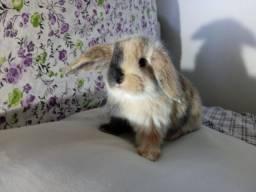 Título do anúncio: Mini coelhos - mini lop uruguaio