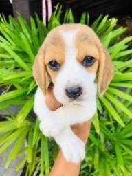 13 Polegadas Beagle! Filhote com Pedigree + Microchip