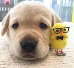 Filhotes fofinhos de Labrador