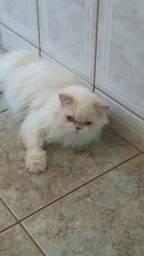 Procuro um gato persa para cruzar