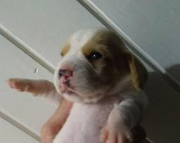 Vendo Beagle Fêmea bicolor