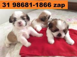 Canil Filhotes Belos Cães BH Lhasa Maltês Yorkshire Shihtzu Beagle Basset