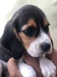 Beagle com pedigree e microchip