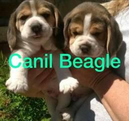 Beagle Filhote 13 Polegadas Mini com Pedigree e Garantia de Saúde