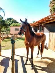 OPORTUNIDADE!!! Cavalo com grande potencial para pista!!