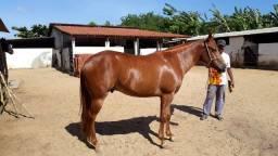 Cavalo 1/2 sangue c/ RG ( VENDA )